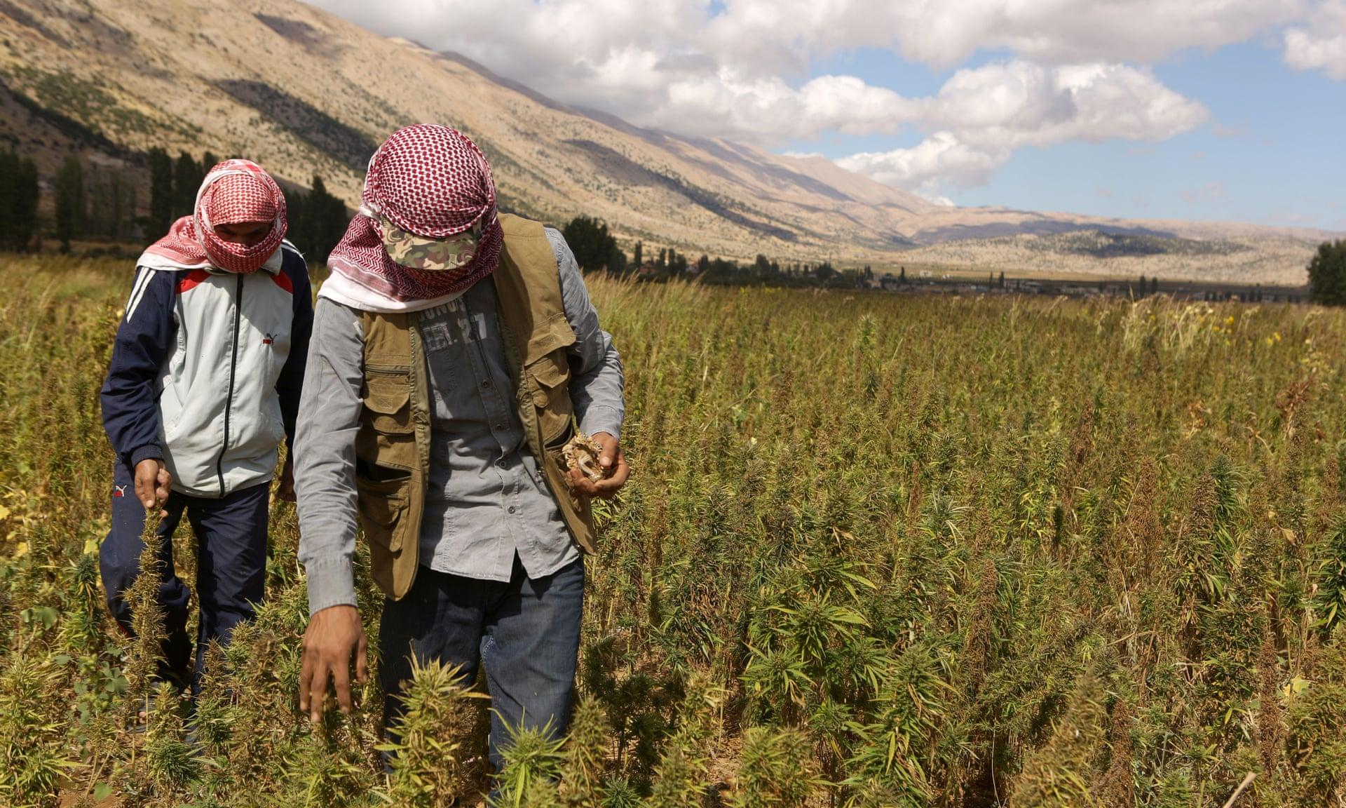 Marijuana article: Syrian refugees work in cannabis field in Bekaa. (Patrick Baz / AFP / The Guardian)